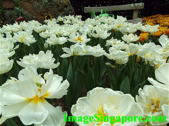 The white tulip are beautiful too