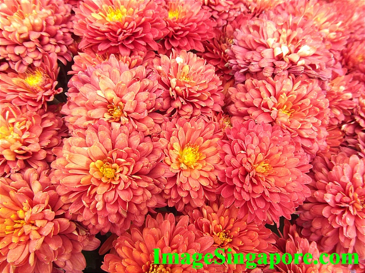 One of my favorite - Red Chrysanthemums.