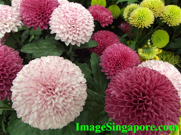 Chrysanthemums - in assortment of colors