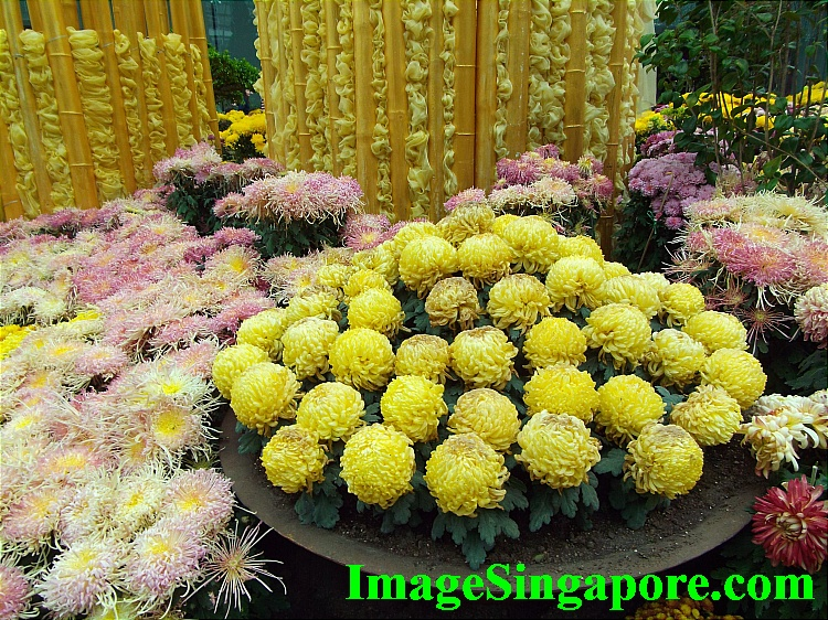 Literally thousands of Chrysanthemum flowers in this floral display.